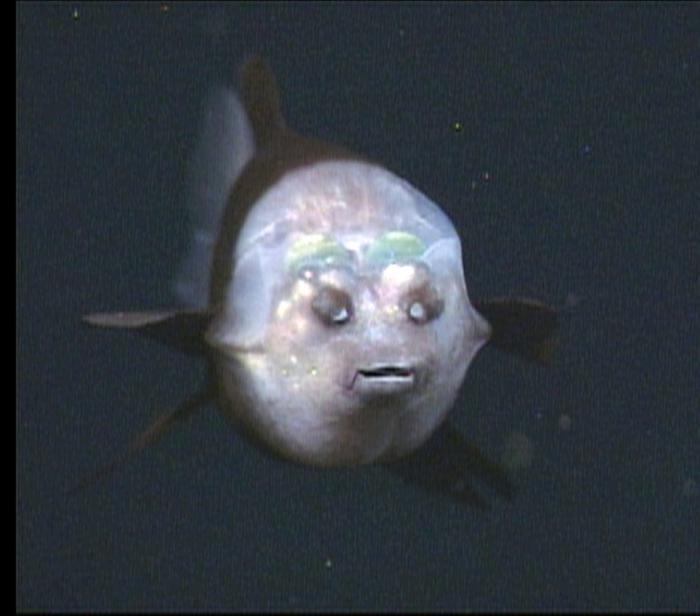 полупрозрачный шифон фото рыбы с прозрачной головой желаете