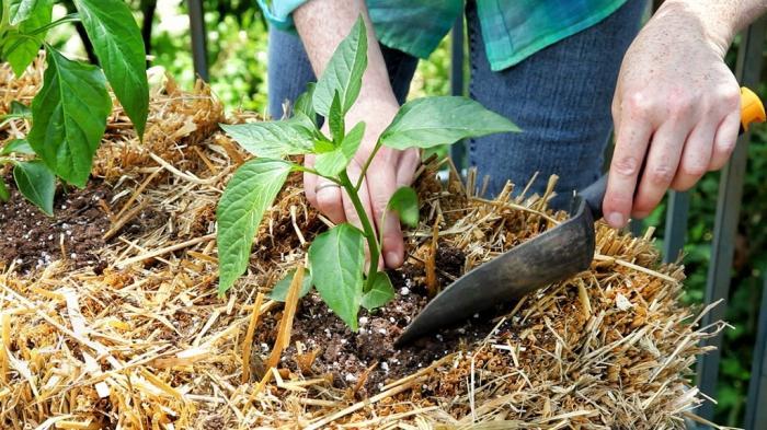 Выращивание перца в открытом грунт 765