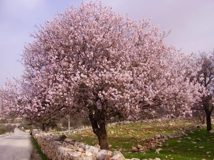 мигдальне дерево