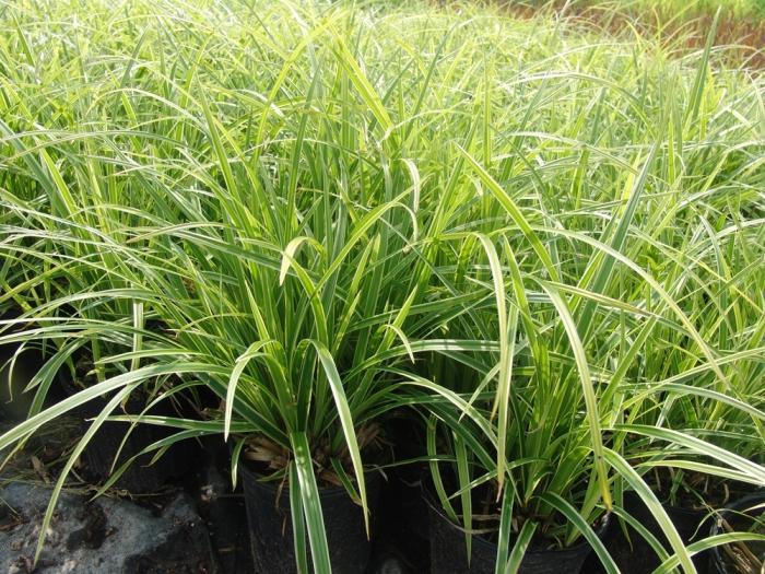 Осока – трава, растущая повсеместно - здоровье и спорт