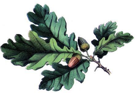 листья дубовые фото