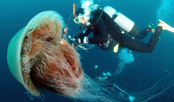 Медуза цианея самая большая в мире