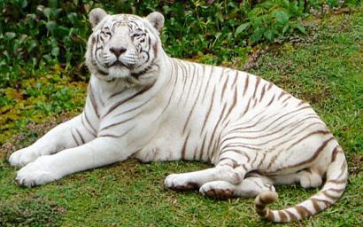 тигр в тропиках