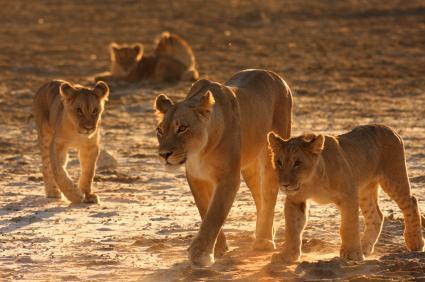 почему львов называют царь зверей