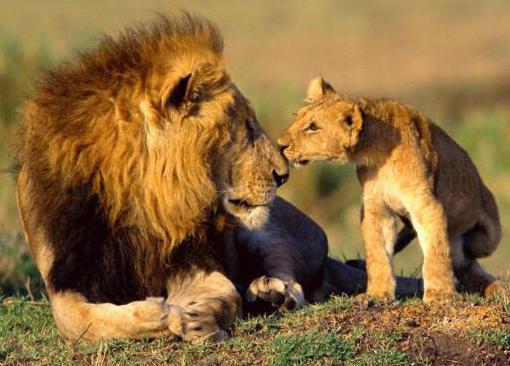 определение лев царь зверей