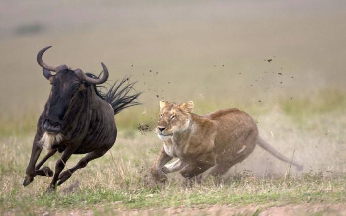 царь зверей львы