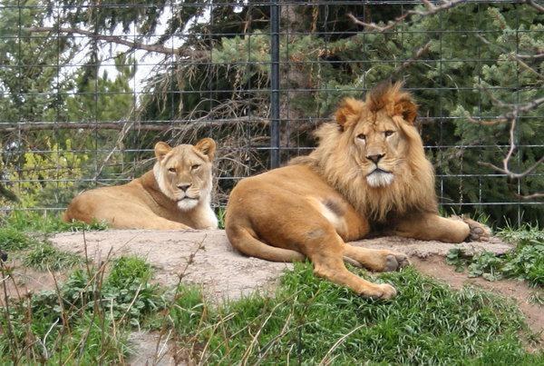 лев в зоопраке