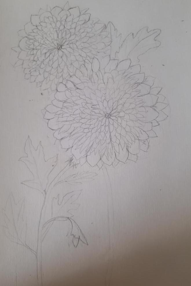 Chrysanthemums Draft