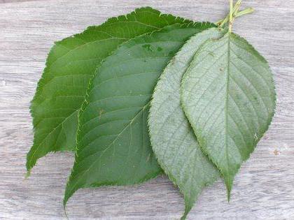 листья вишни польза