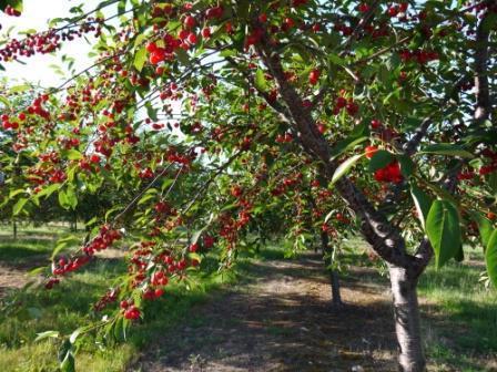 Листья вишни полезные свойства и противопоказания для мужчин thumbnail