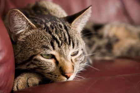 сахарный диабет у кошки лечение