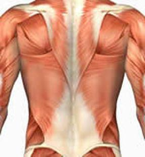 выпрямляющая позвоночник мышца