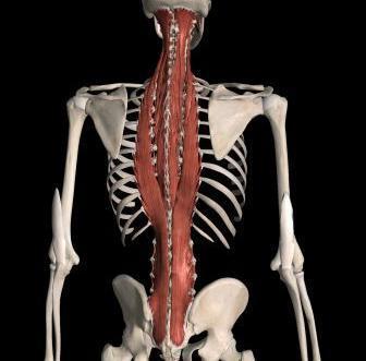 мышца выпрямляющая позвоночник упражнения