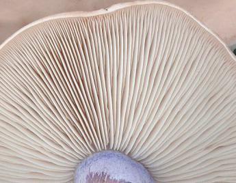 Синеножка - гриб съедобный