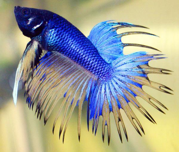 Рыбы петушки содержание