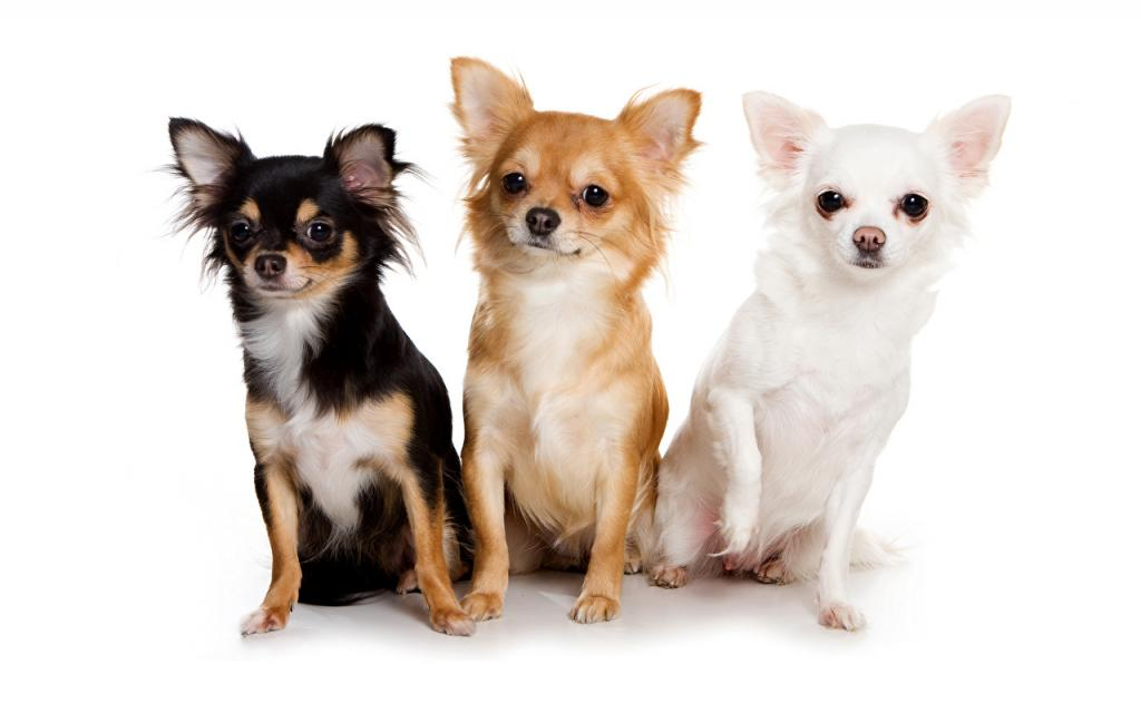 Маленькие комнатные собачки: породы, фото, интересные особенности