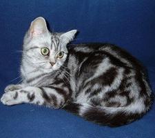 Британские кошки окрасы и внешний вид
