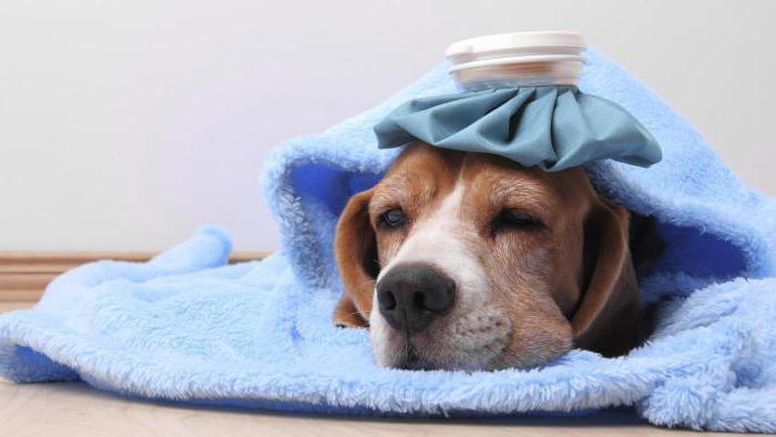 превикокс для собак инструкция отзывы - фото 4