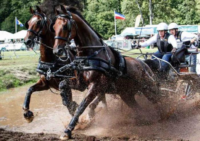 Голштинская порода лошадей: характеристика, фото, особенности