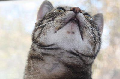 на подбородке у кошки акне