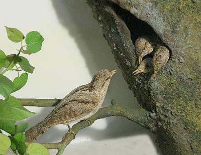 птица семейства дятловых
