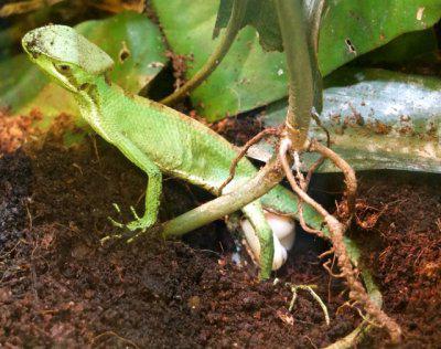 ящерица откладывает яйца