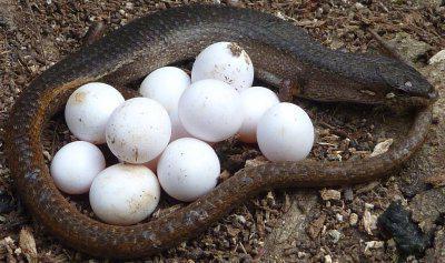ящерица откладывающая деликатесные яйца