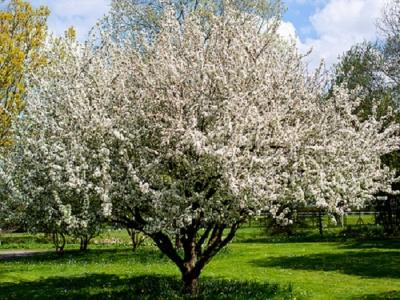 Дивное время, когда цветут яблони