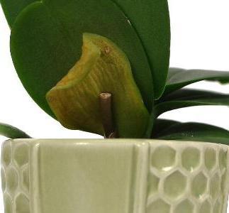 желтеют листья у орхидеи фаленопсис