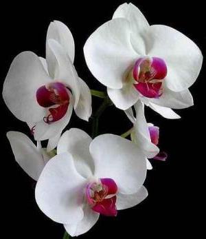 почему желтеет лист у орхидеи