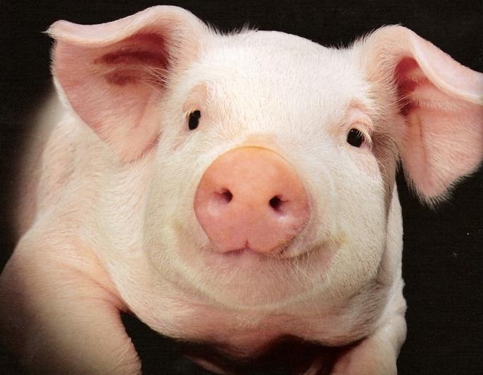 Заниматся сексом во сне со свиньей
