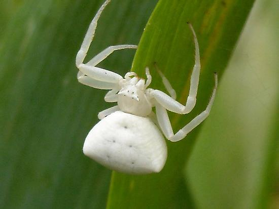 к чему снятся белые пауки