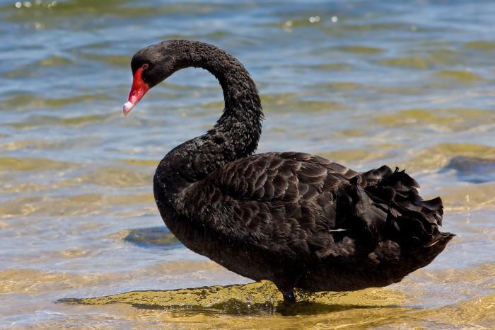 К чему снятся лебеди (на воде, в небе)? К чему снится черный лебедь?