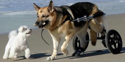 Дисплазия у собак лечение