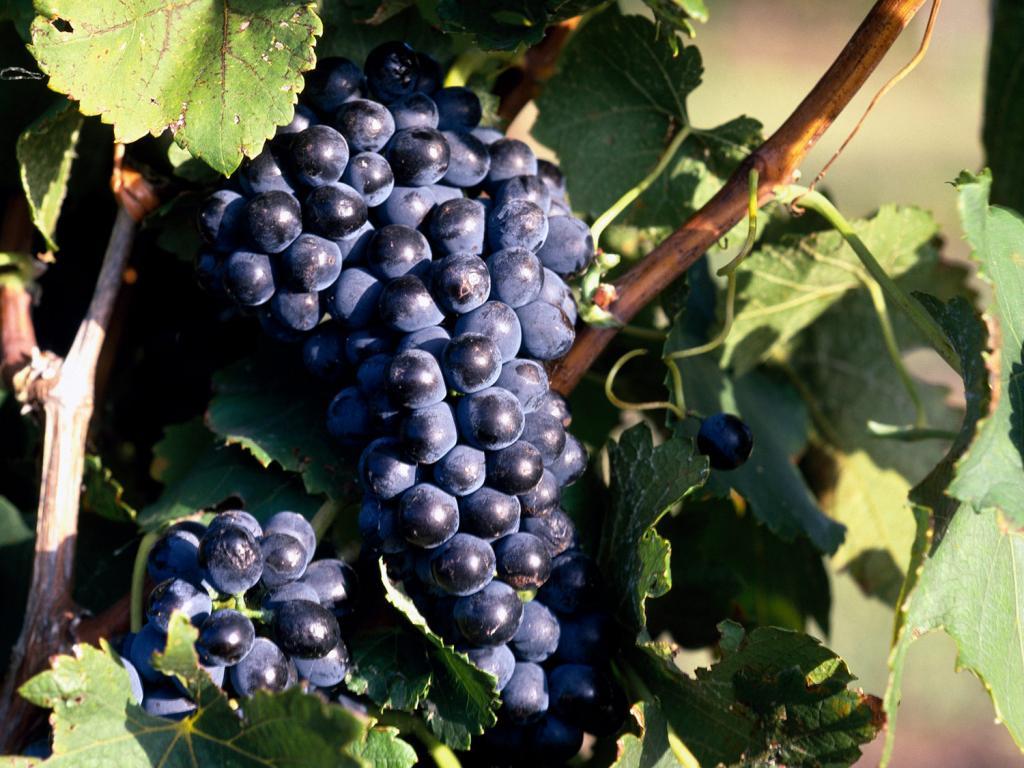 Лоза с гроздью винограда