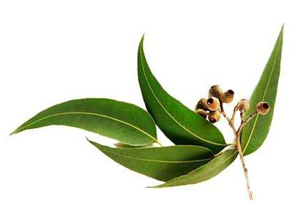 Эфирное масло эвкалипта: свойства и применение, инструкция и отзывы