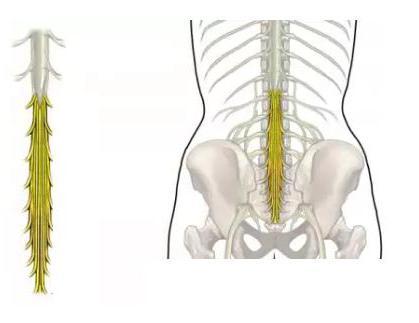 синдром конского хвоста у человека