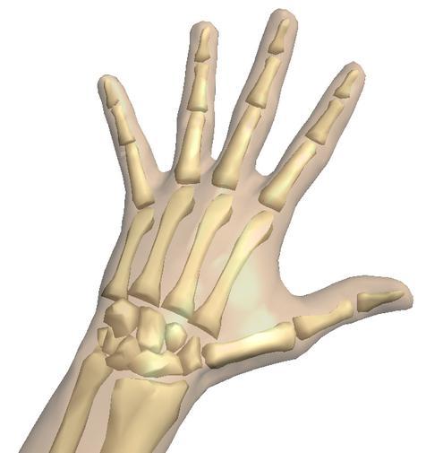кости руки человека