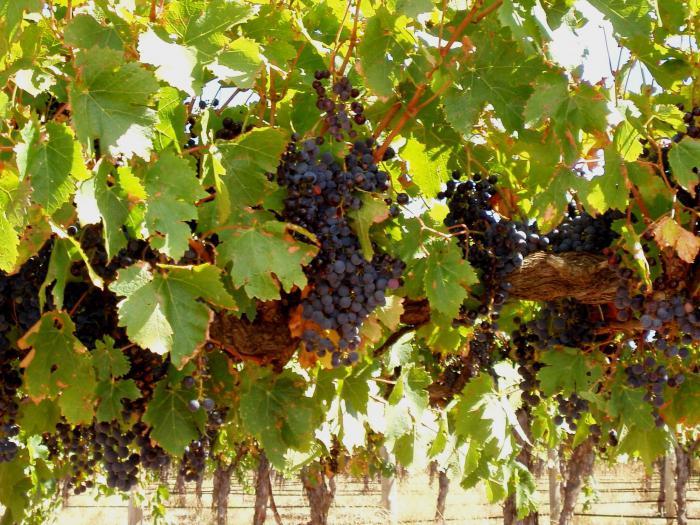 Как сделать виноградное крепленое вино в домашних условиях