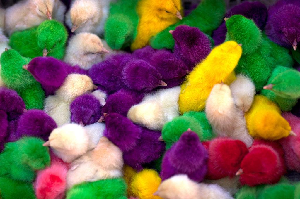 Мода на разноцветных цыплят: почему не стоит их покупать?
