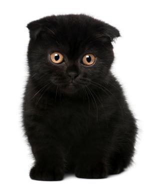 Уход за британскими вислоухими котятами