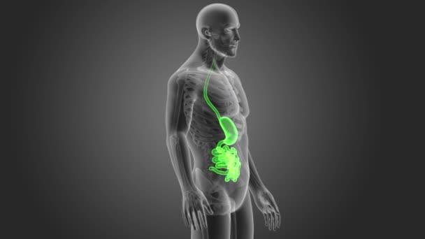 Желудок и кишечник: функции, заболевания, диагностика и методы лечения