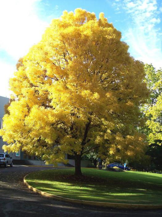 Ясень дерево фото