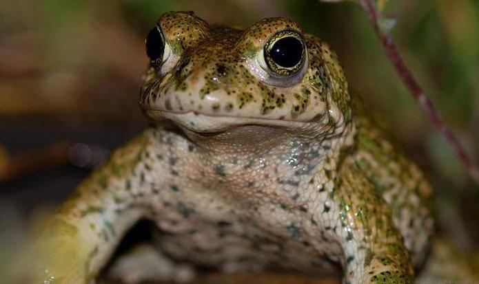 жаба фото