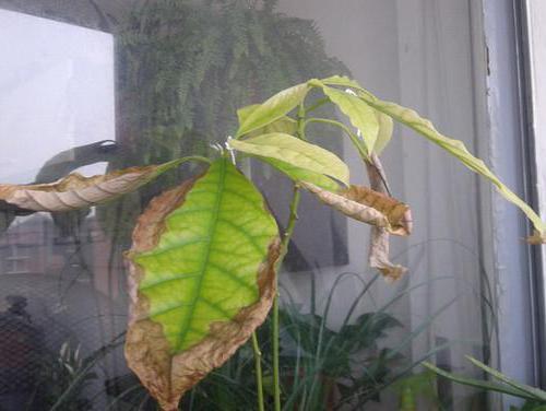 Диффенбахия уход в домашних условиях желтеют листья