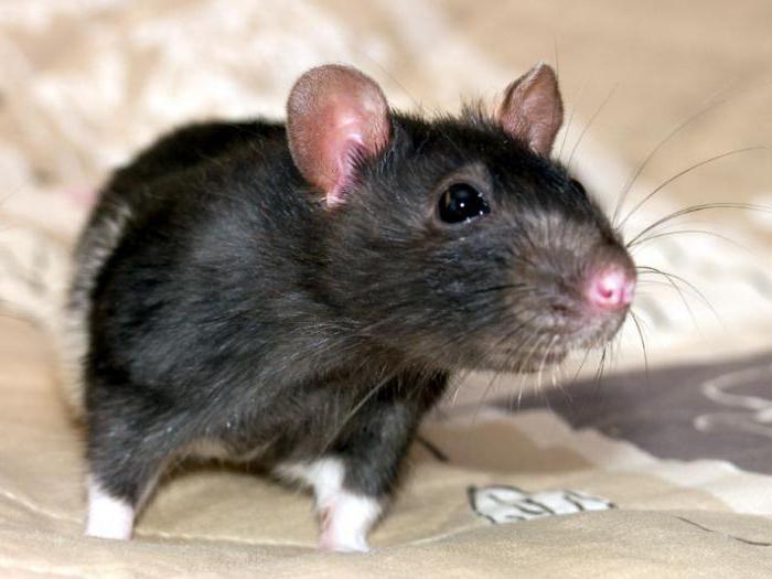 домашняя крыса отзывы