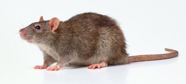 как ухаживать за крысами домашними