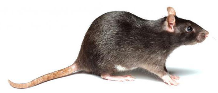 как мыть домашнюю крысу