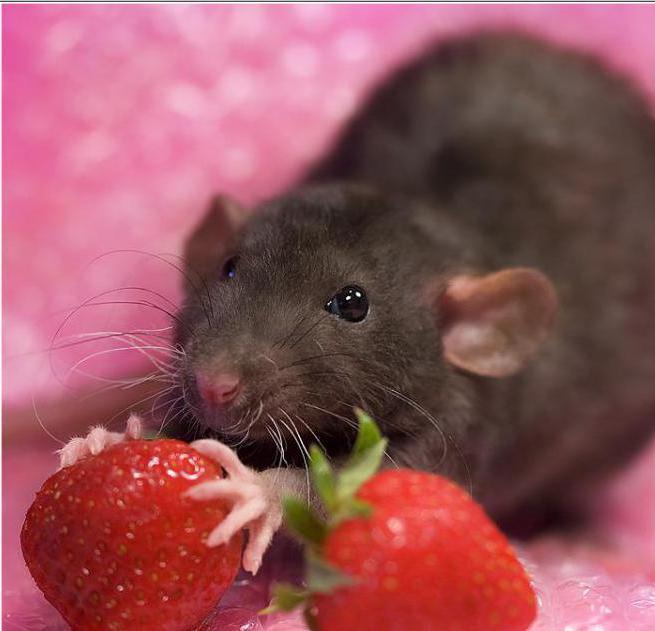домашние крысы кормление