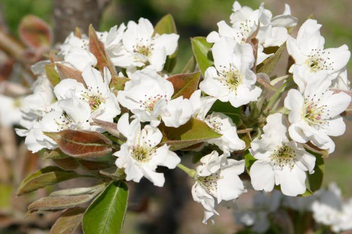 Видная груша: описание и особенности сорта